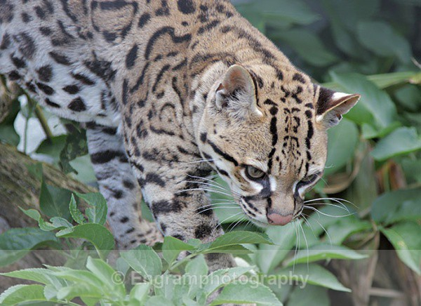 Ocelot - Animals (Fauna)
