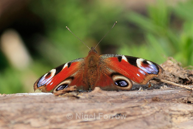 Peacock basking on a log, Roman Road, Otmoor - INSECTS