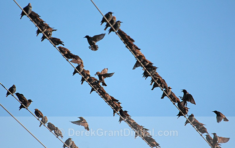 Like a Bird on a Wire .... - Birds of Atlantic Canada