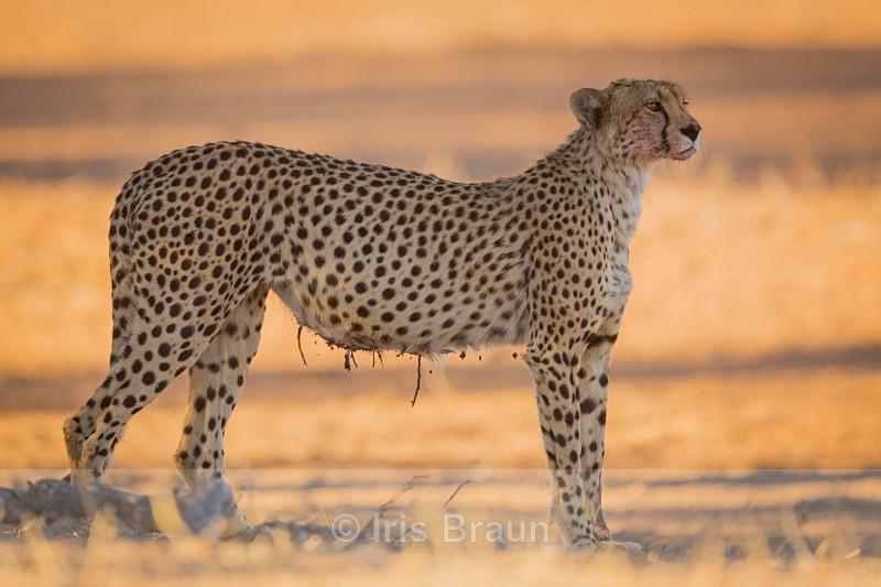 Beauty - Cheetah