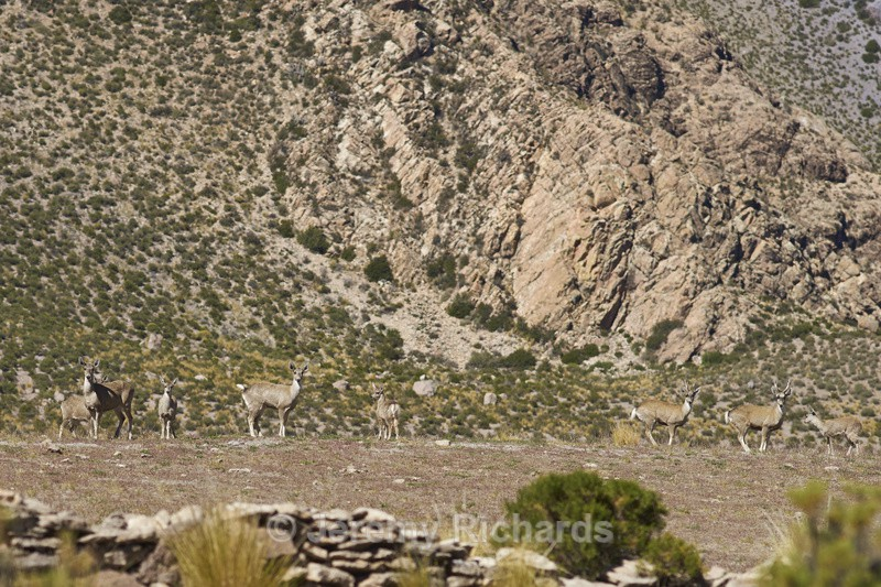 Herd of North Andean Deer - Altiplano of North-East Chile
