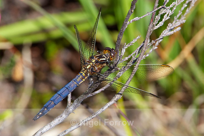 Keeled Skimmer (male) on Hartland Moor - INSECTS