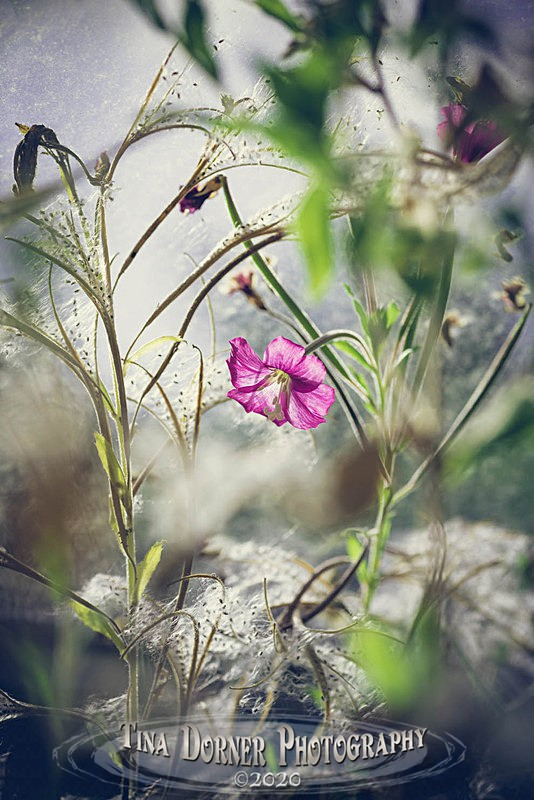 Giant Willowherb - Plants & Flowers