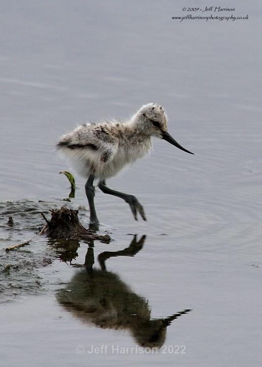 Avocet chick (image Av 03) - Waders, Gulls & Seabirds