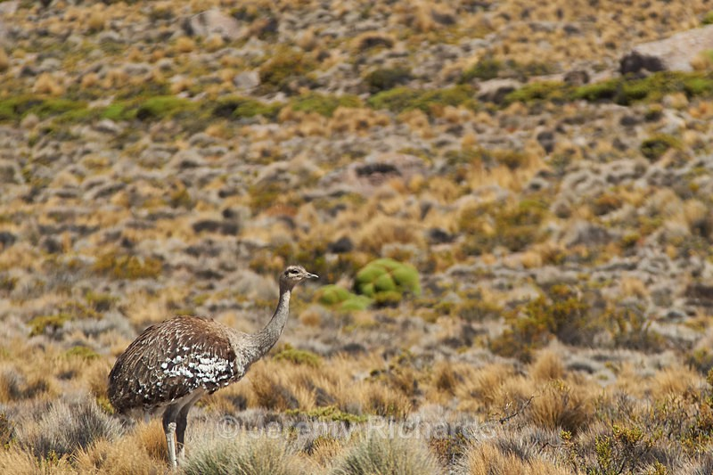 Rhea on the Altiplano - Wildlife of Chile