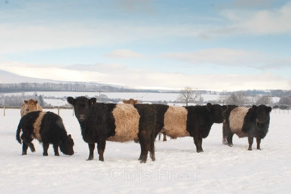 Frear-Belties - For T&C