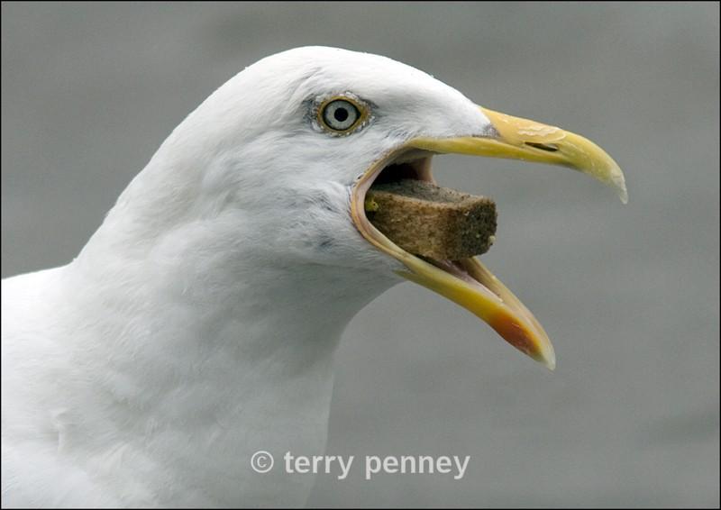 Common Gull (Laras canus) - Birds