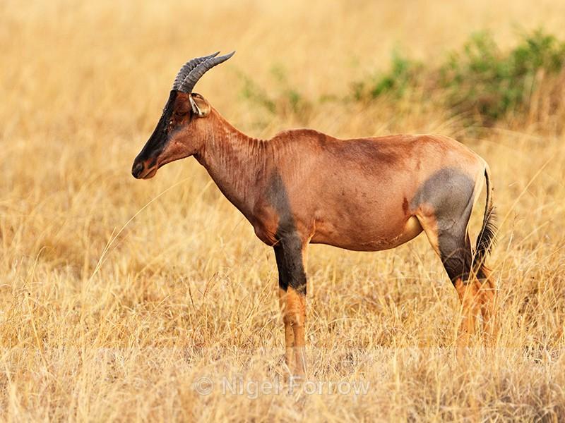 Topi standing still, Masai Mara, Kenya - Antelope