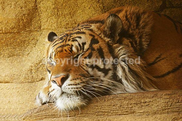 Sumatran Tiger - Jae Jae (London Zoo) - Tigers
