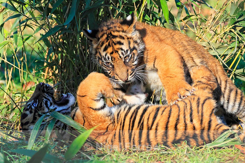 Two Sumatran Tiger cubs playing at the WHF - Tiger