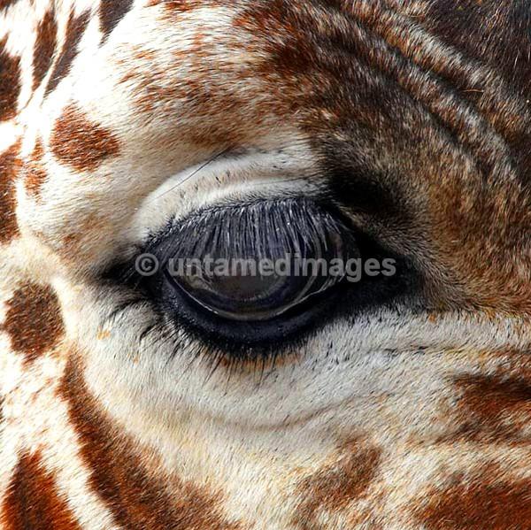 Giraffe - eye - Kenya