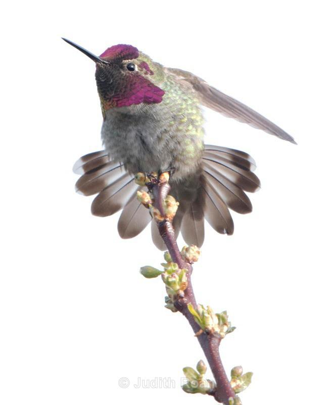 Annas Hummingbird male - Backyard Birds of the Pacific Northwest