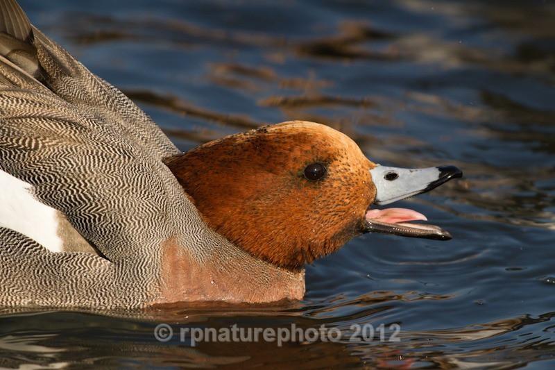 Wigeon - Anas penelope RPNP0692 - Birds