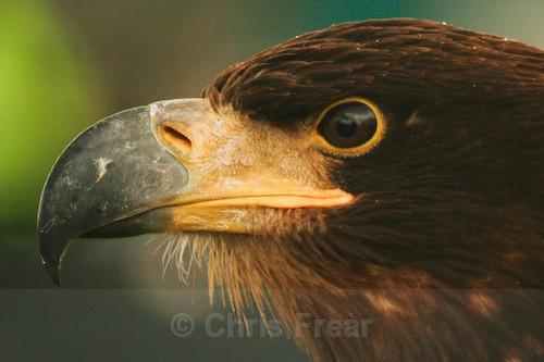 White Tailed Sea Eagle - Animals/ Wildlife