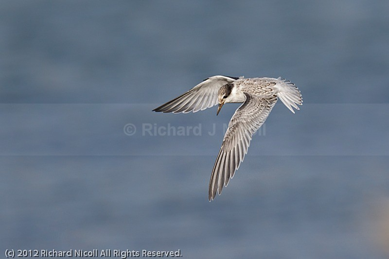 Little Tern (Sterna albifrons) in flight - Little Tern (Sterna albifrons)