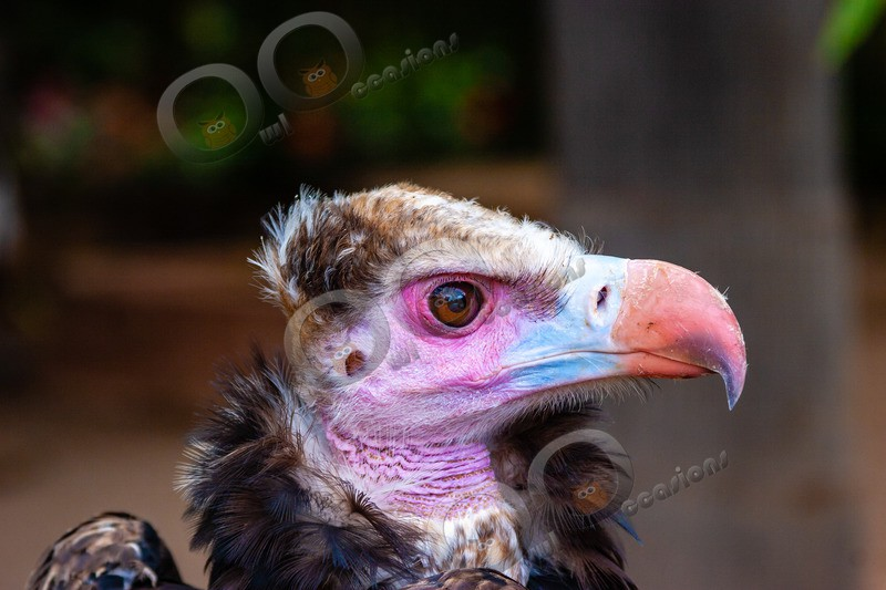 cinereous vulture Aegypius monachus-411 - BoP from around the world