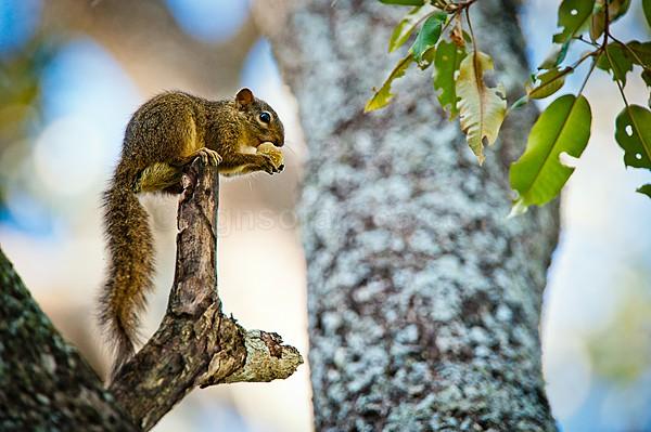 Ochre Bush Squirrel, Kenya Tree Squirrel, Mathews Range, Kenya