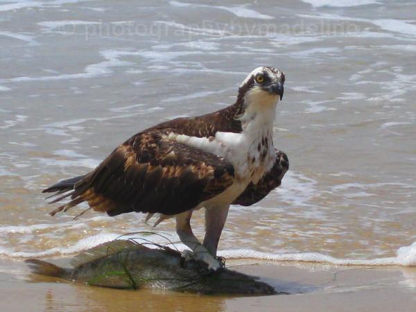 Osprey - Birds