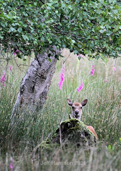 Sika Deer (image Sika D 09) - Mammals