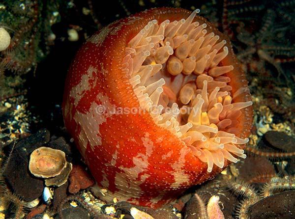 Urticina eques - Anemones (Anthozoa)