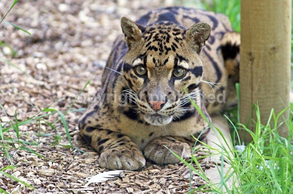 Ben - Clouded Leopard - Small Cats