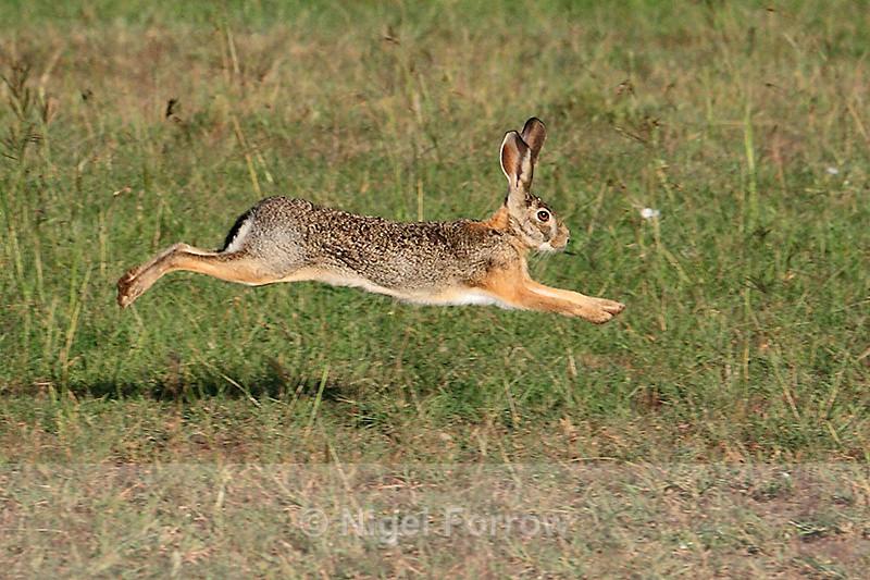 African Savanna Hare running, Masai Mara - Hare: www.nigelforrow.co.uk/african-savannah-hare-running