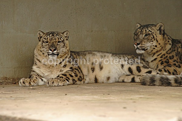 Snow Leopards - Omega & K2 - Cat Survival Trust - Big and Small Wild Cats