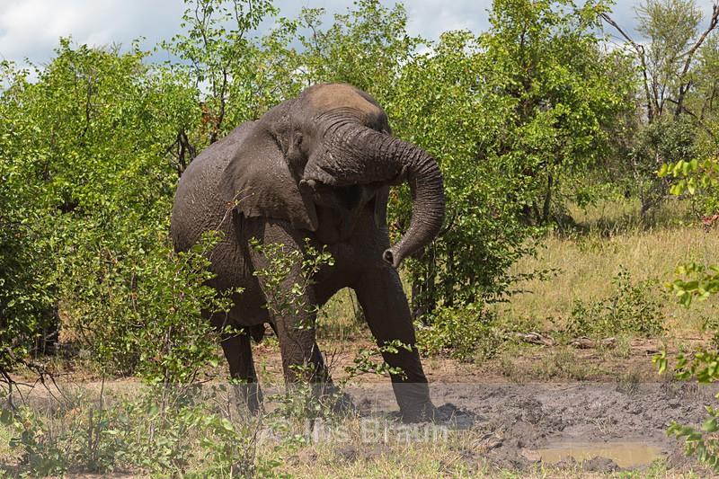 The Kruger Shake - Elephant