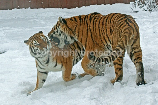 Amur Tigers - Igor & Anoushka in winter (Colchester Zoo) - Tigers