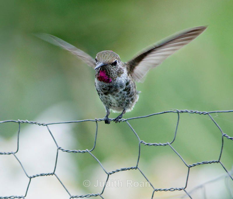 Annas Hummingbird female on a fence - Backyard Birds of the Pacific Northwest