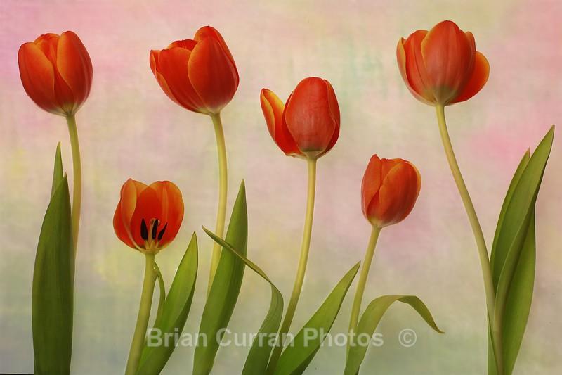 Soft focus tulips - Flowers