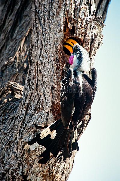 Eastern Yellow-Billed Hornbill, Shaba, Kenya