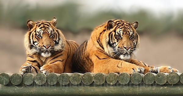 252 ASU & BAWA - BIG CATS