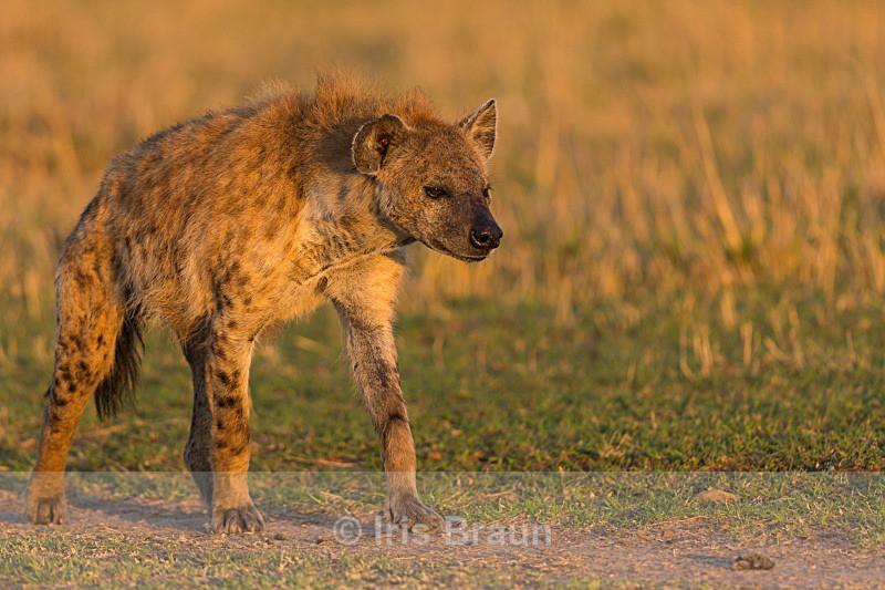 Hyena in First Light - Hyena