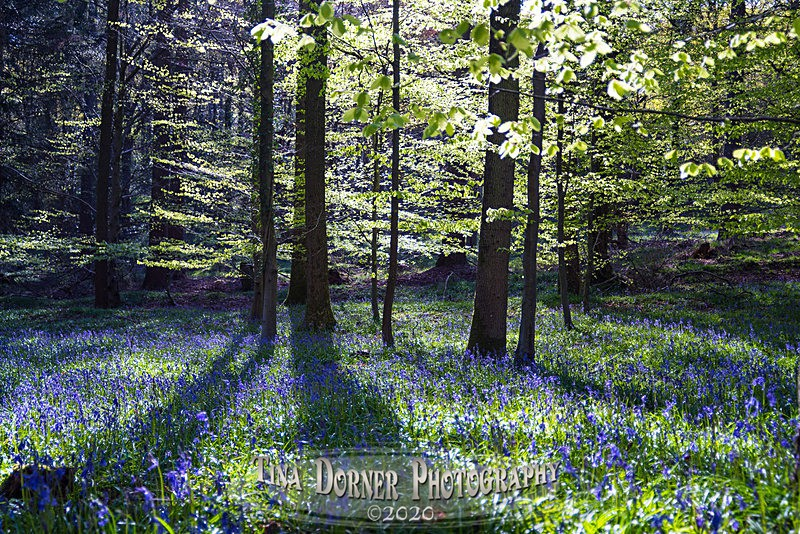 Bluebell Splay - Spring & Summer in The Forest of Dean & Wye Valley and BLUEBELLS!
