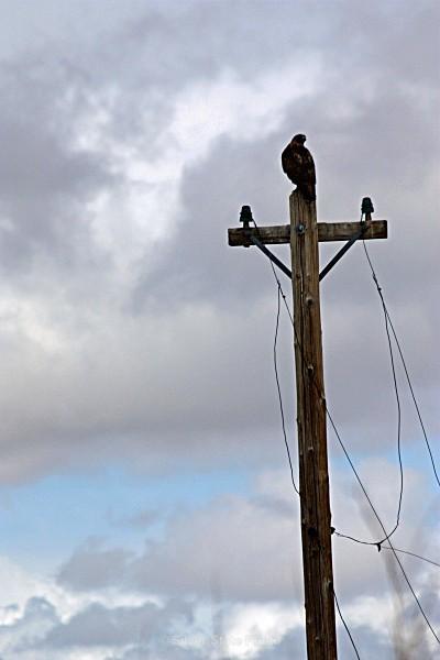 Red Tail Hawk - Nevada Birds