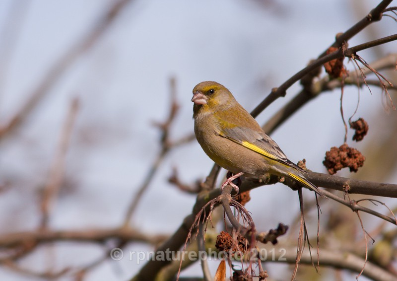 Greenfinch - Carduelis chloris RPNP0069 - Birds
