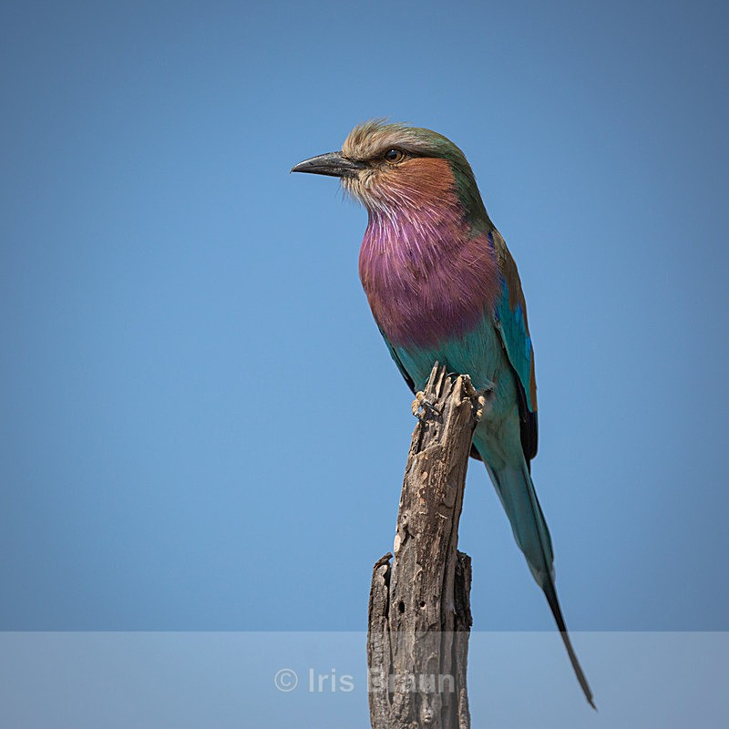 Lilac Breasted Roller III - Small Birds