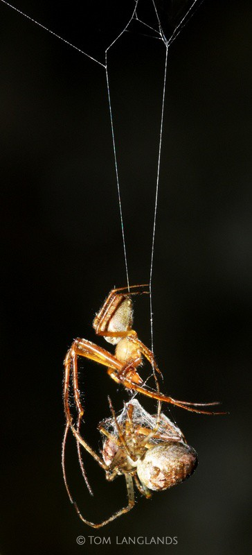 Garden Orb Spiders - Macro