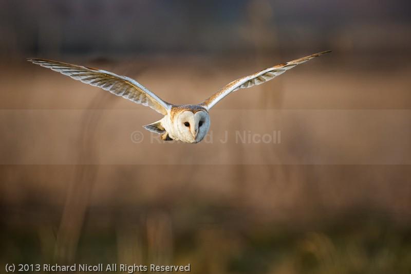 Barn Owl (Tyto Alba) in flight - Barn Owl (Tyto Alba)