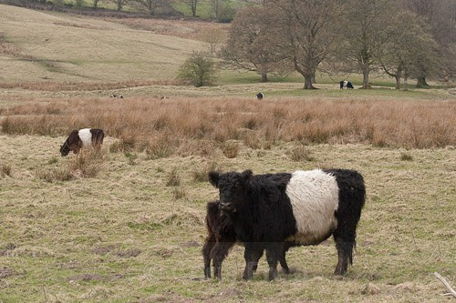 6 - Belted Galloway Cattle