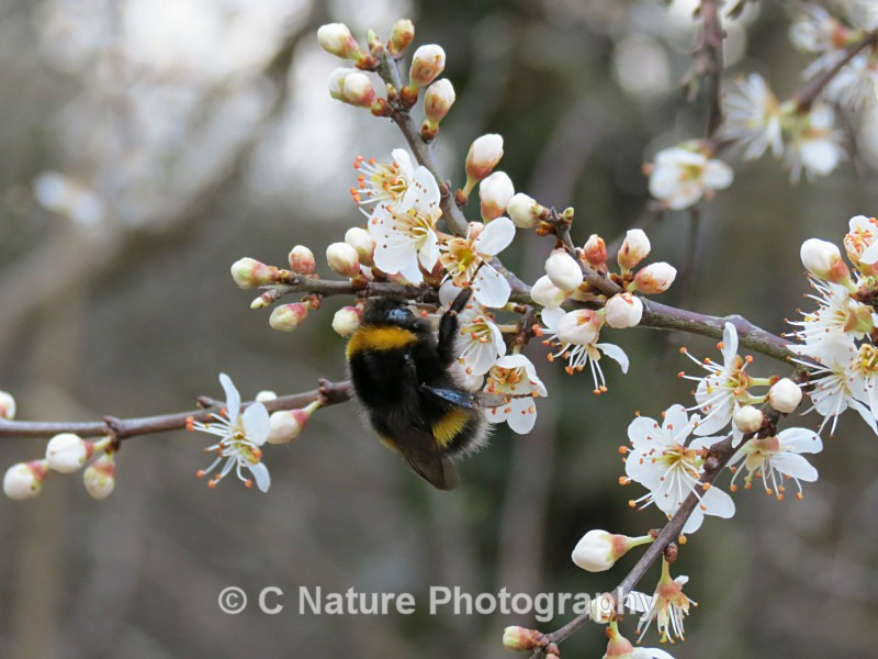 Bumble Bee & Blossom - Insects & Creepy Crawlies
