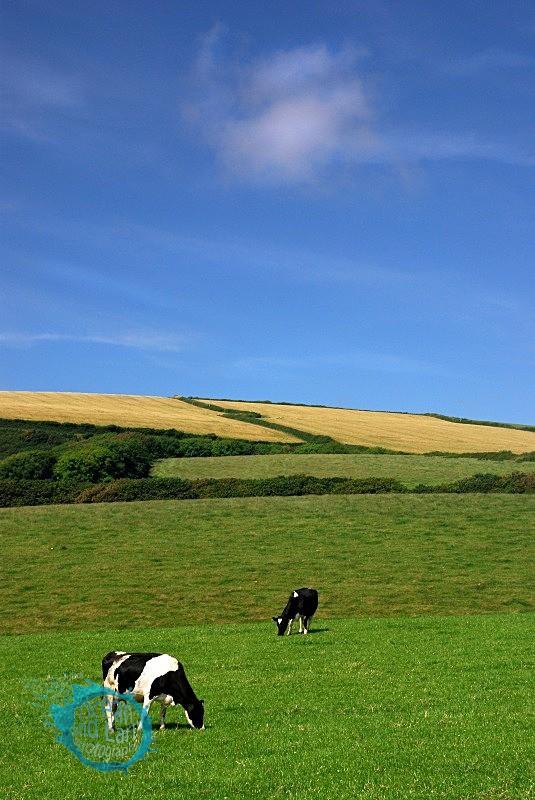 Summer Grazing - Landscapes