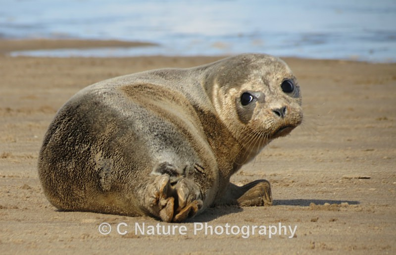 Young Seal - Animals