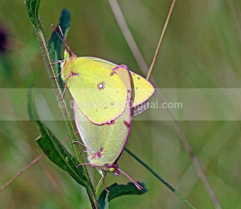 Colias Philodice(mating pair) - Butterflies & Moths of Atlantic Canada