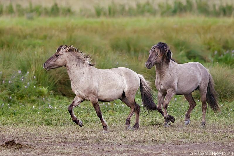 Konik Pony (Equus ferus f. caballus) - LRPS Panel