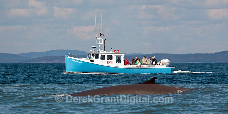 Finback Whale under heavy observation - Bay of Fundy Whales
