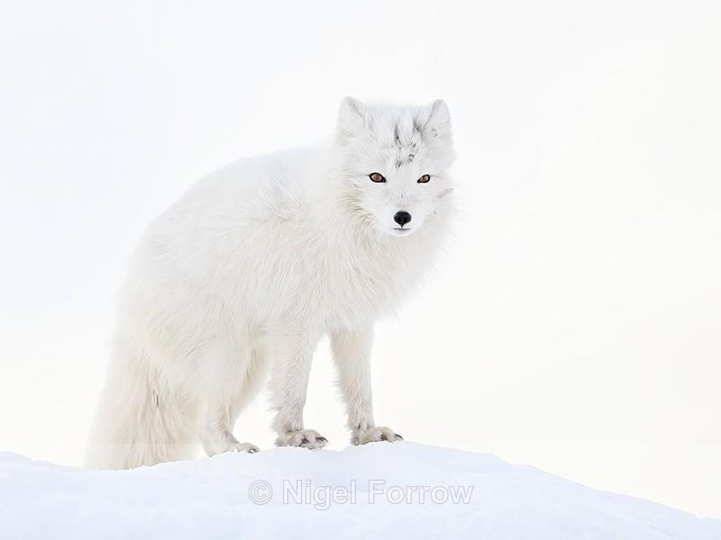 Arctic Fox on snow mound, Svalbard, Norway - Arctic Fox