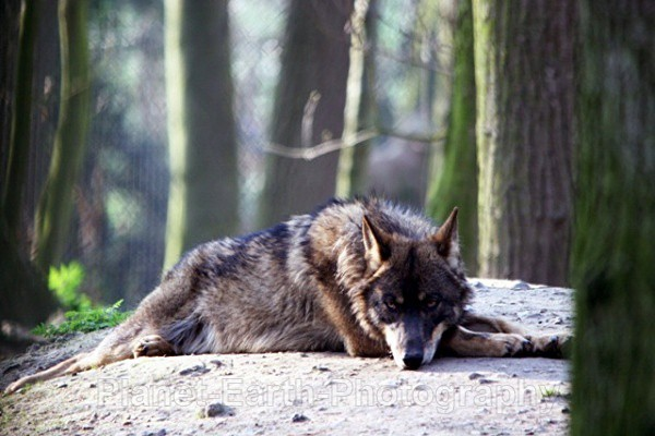 Lone Wolf Resting 2 - Wolves