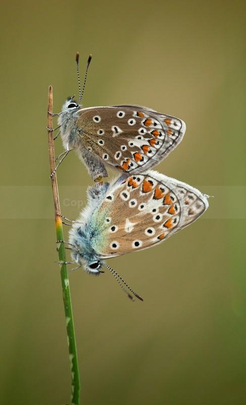 Common Blue Butterflies Mating - 2010